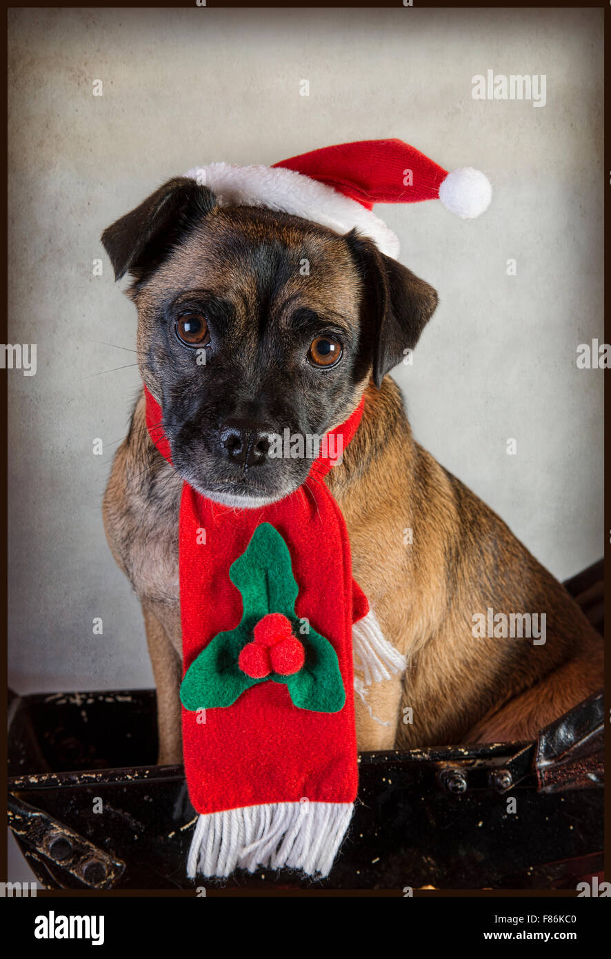Cute Pug cross dog in Santa hat and scarf Stock Photo  91116032 - Alamy 8fa9840518a