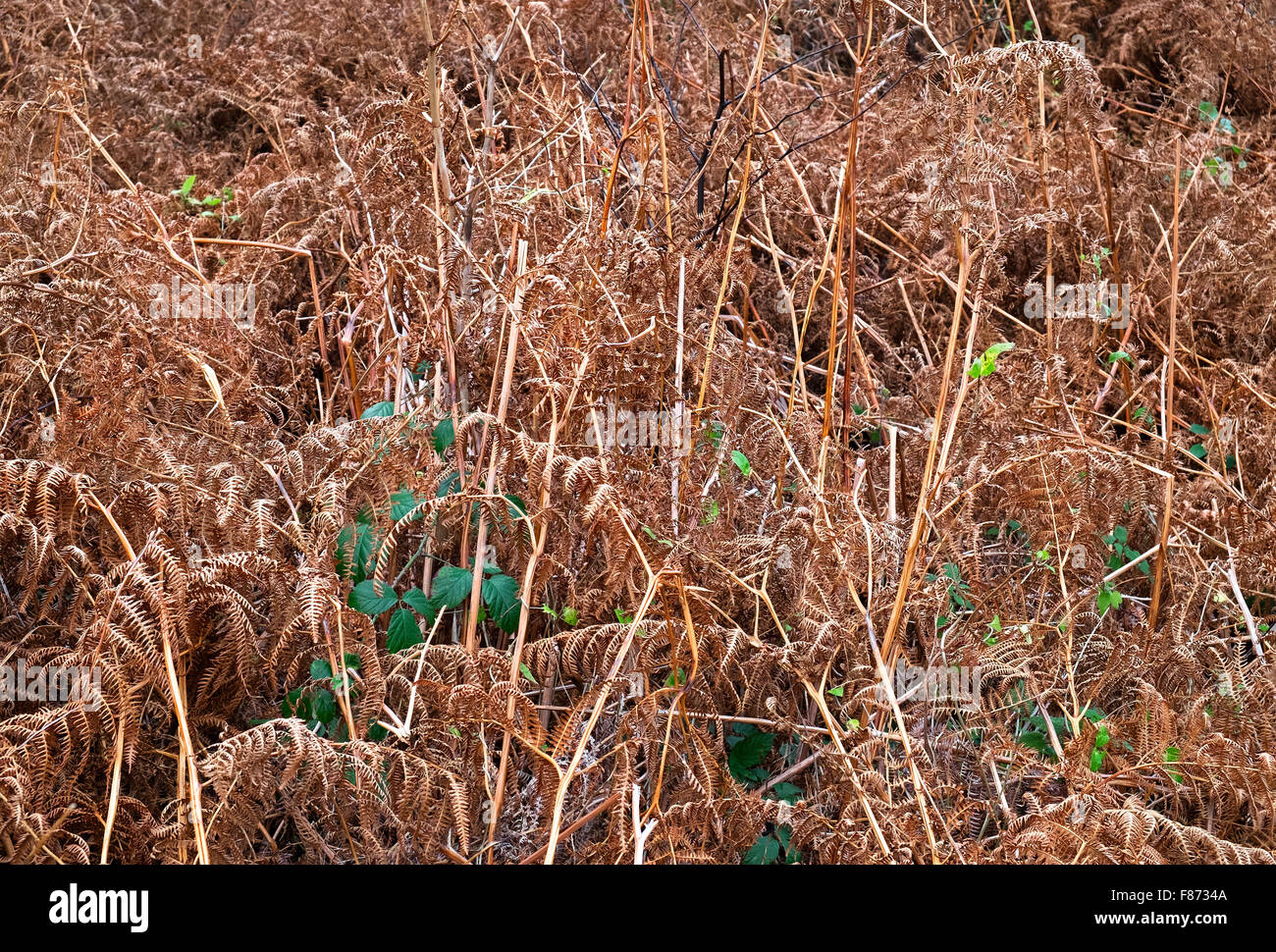 Bracken dried in its winter stage - Stock Image