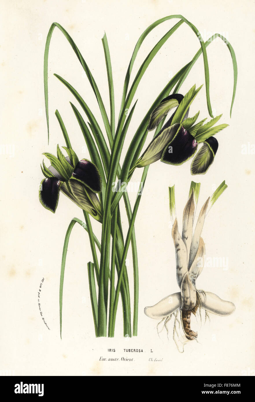 Snake's-head or widow iris, Iris tuberosa. Handcoloured lithograph from Louis van Houtte and Charles Lemaire's - Stock Image
