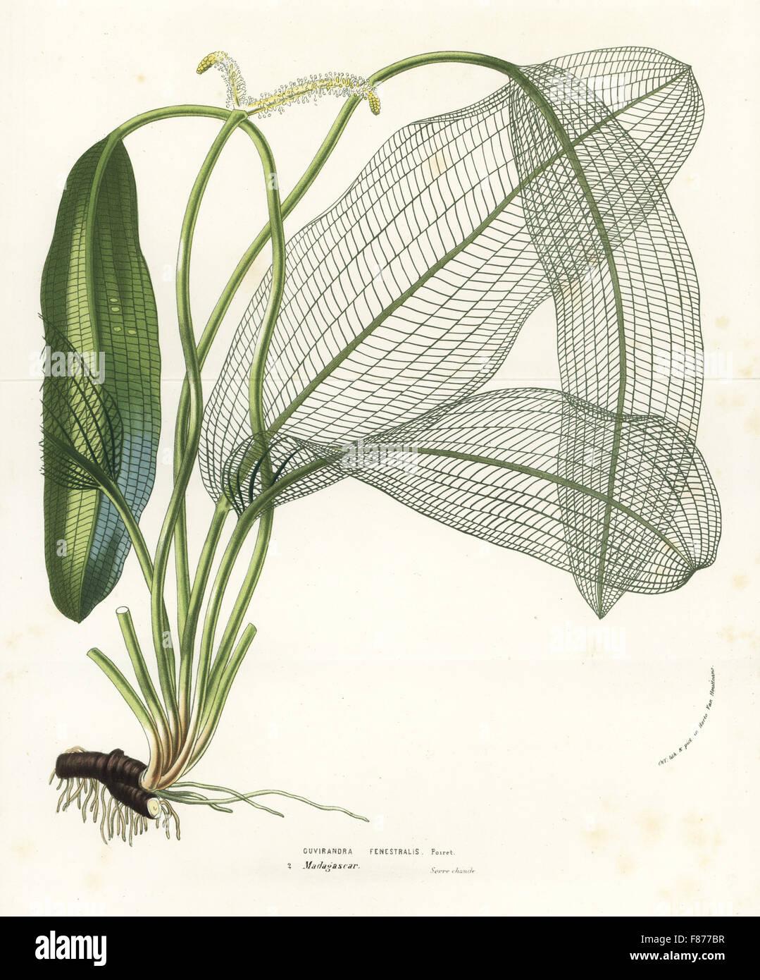 Madagascar laceleaf, lattice leaf or lace plant, Aponogeton madagascariensis (Ouvirandra fenestralis). Handcoloured - Stock Image