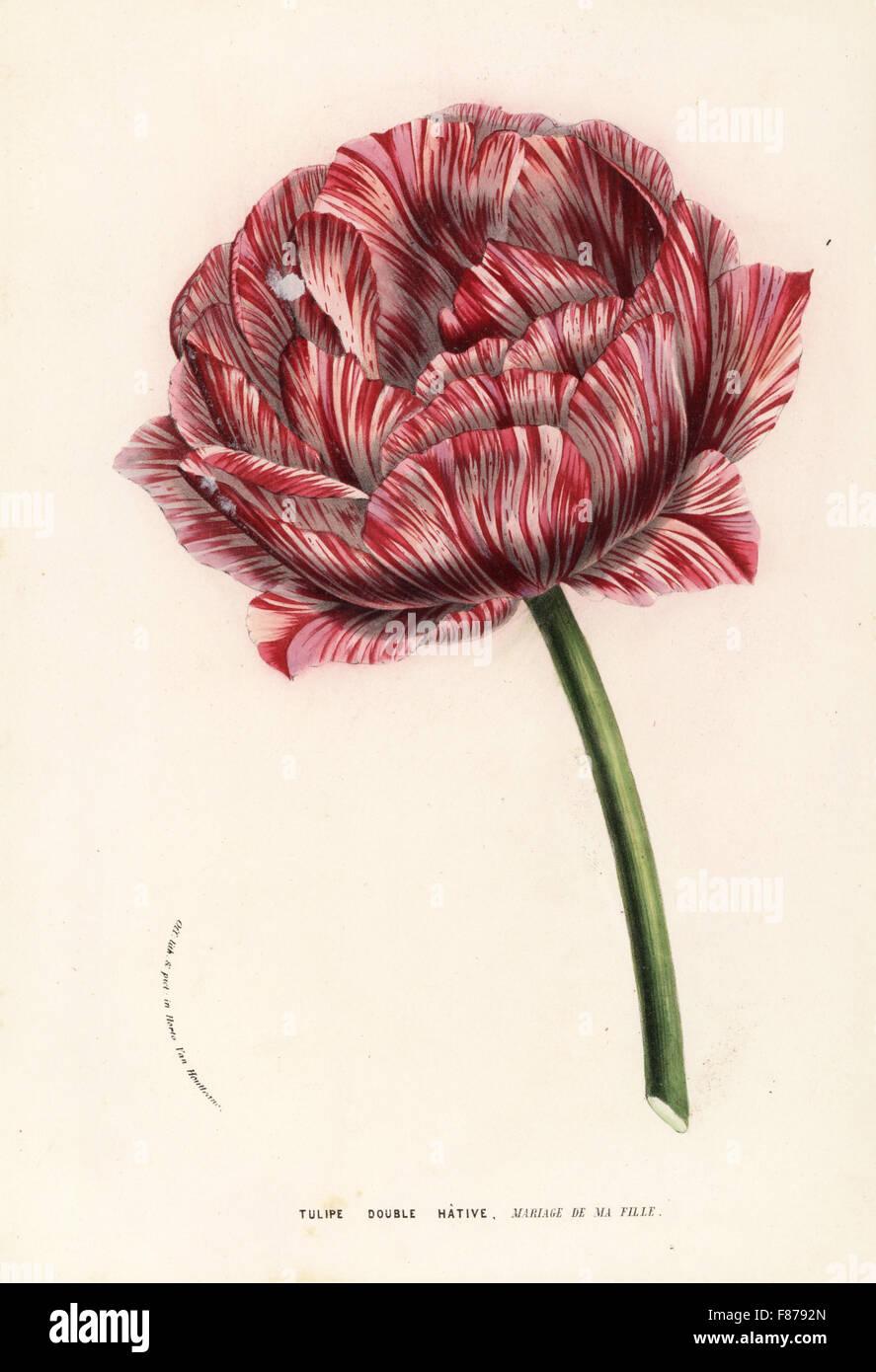 Tulip variety, My Daughter's Wedding, Mariage de ma Fille, tulipe double hative, Tulipa gesneriana. Handcoloured - Stock Image