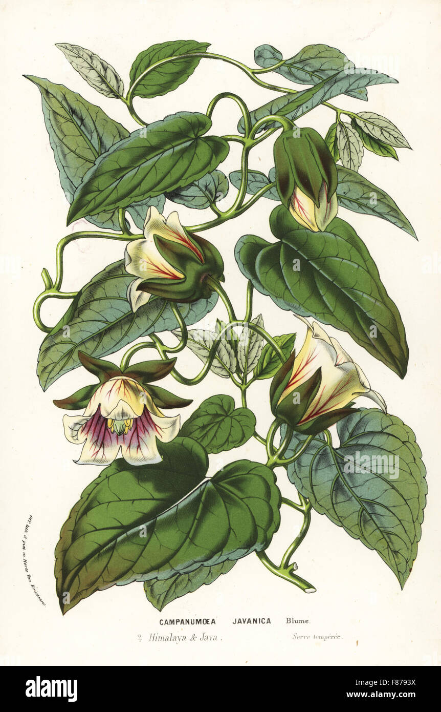 Dangshen, Codonopsis javanica (Campanumoea javanica). Used in traditional Chinese herbal medicine. Handcoloured lithograph from Louis van Houtte and Charles Lemaire's Flowers of the Gardens and Hothouses of Europe, Flore des Serres et des Jardins de l'Europe, Ghent, Belgium, 1857. Stock Photo