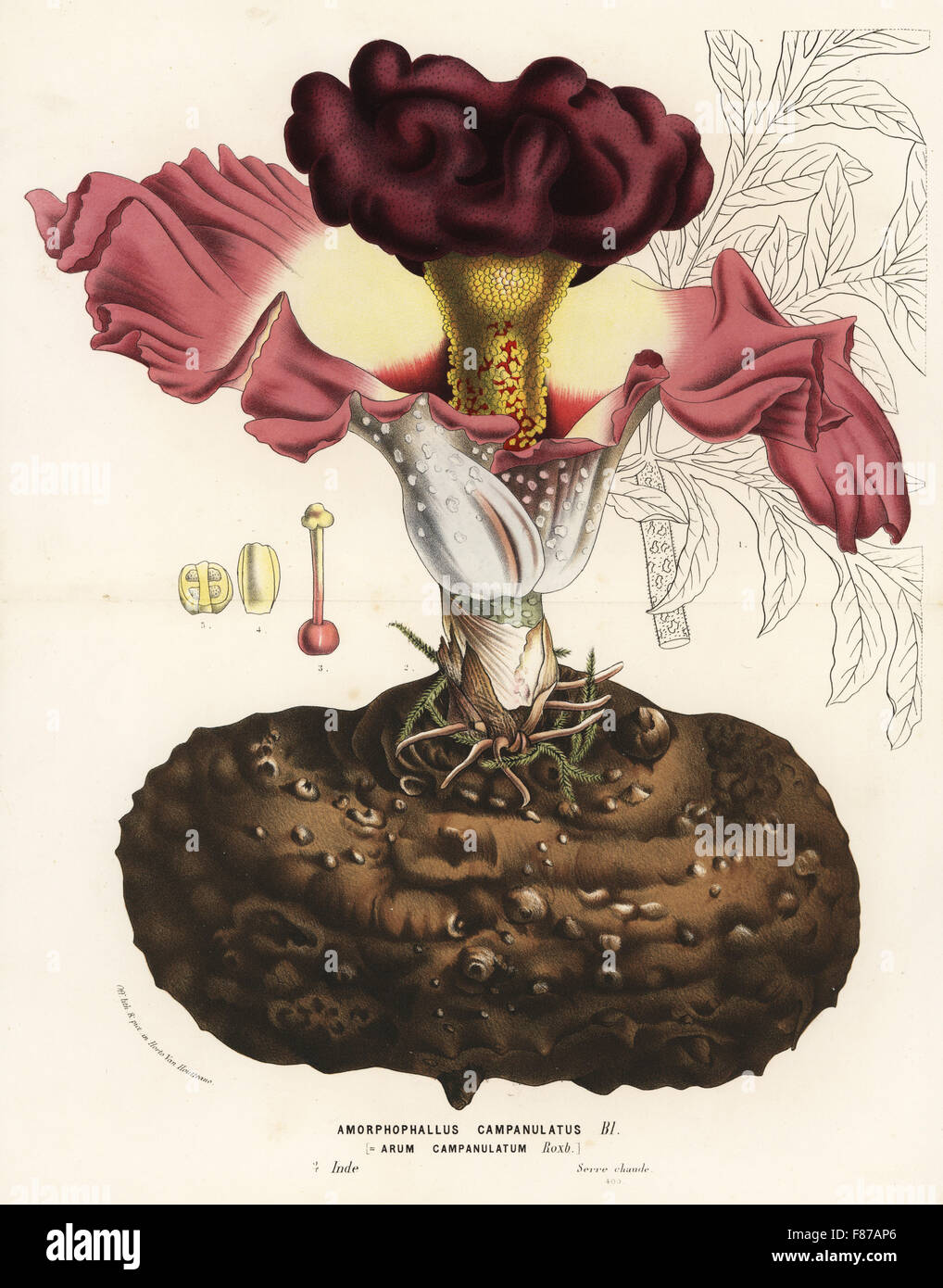 Elephant foot yam or whitespot giant arum, Amorphophallus campanulatus. Handcoloured lithograph from Louis van Houtte Stock Photo