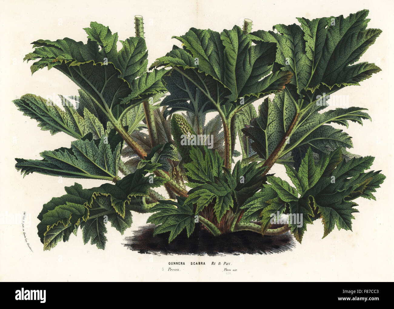 Chilean or giant rhubarb, Gunnera tinctoria (Gunnera scabra). Handcoloured lithograph from Louis van Houtte and Stock Photo
