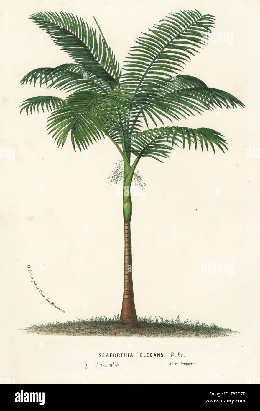 Solitaire palm or Alexander palm, Ptychosperma elegans (Seaforthia elegans). Handcoloured lithograph from Louis - Stock Image