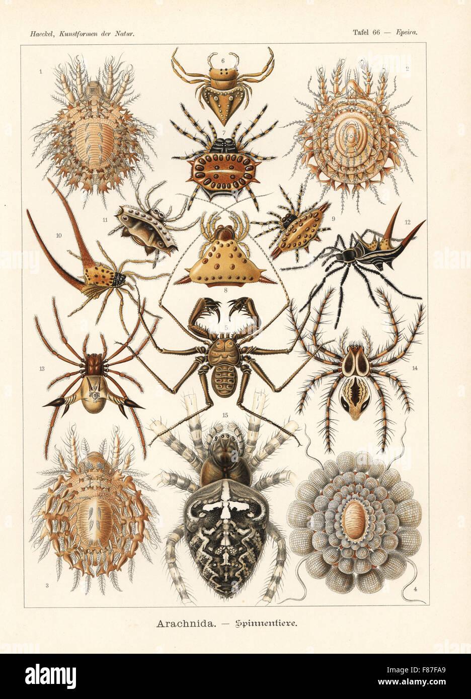Arachnida spiders: Protocepheus hericius 1, Cepheus latus 2, Cepheus cepheiformis 3,  Tereticepheus palmicinctum - Stock Image