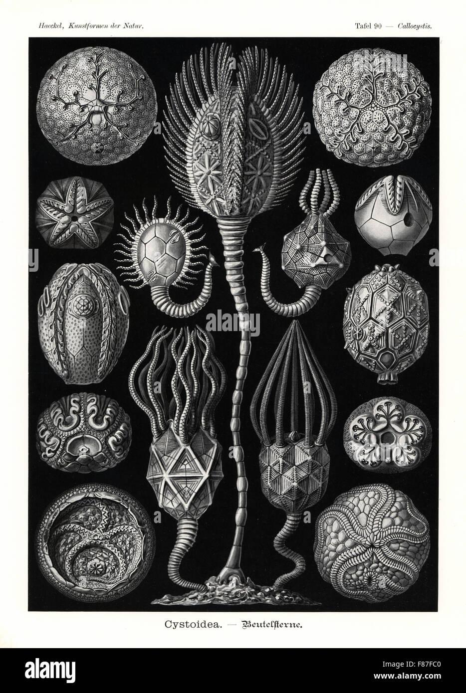 Cystoidea or cystoids, extinct fossil echinoderms: Staurocystis quadrifasciata 1, Glyptosphaerites leuchtenbergi Stock Photo