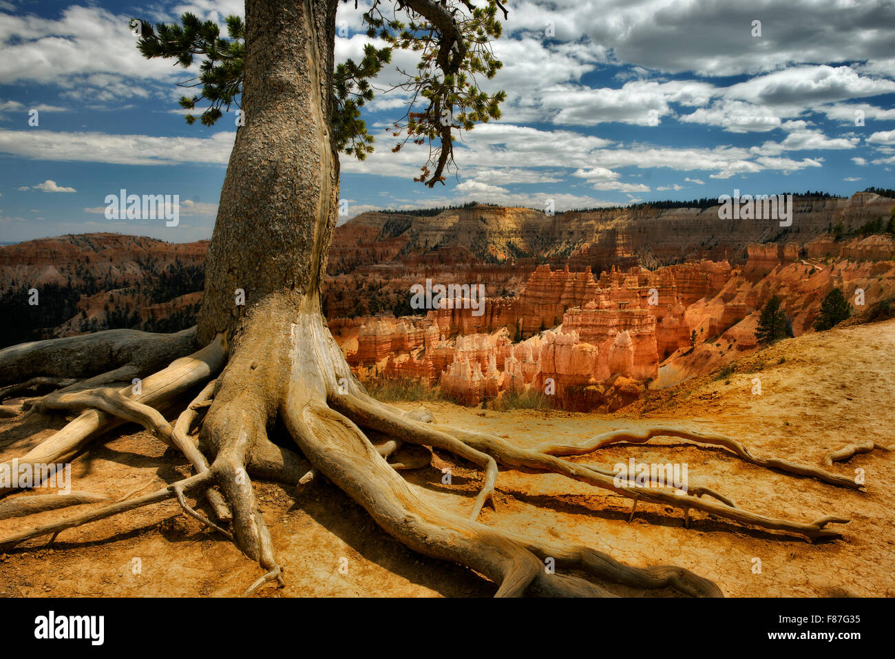 Exposed tree roots and rock formations hoodoos in Bryce National Park, UT - Stock Image