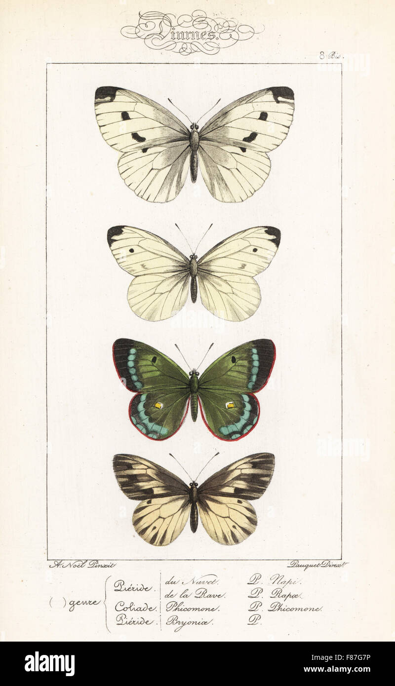 Green-veined white, Pieris napi, small white, Pieris rapae, mountain clouded yellow, Colias phicomone, and dark - Stock Image