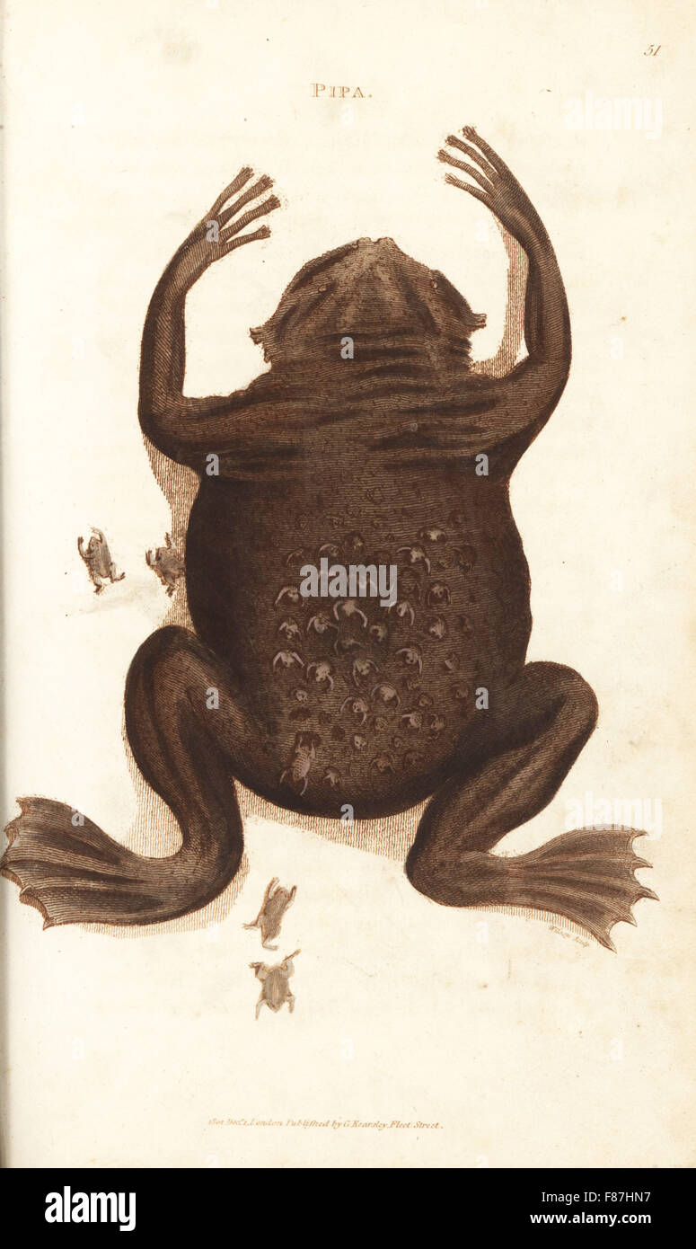 Common Suriname toad or star-fingered toad, Pipa pipa (Pipa, Rana pipa). Female with froglets emerging from pockets - Stock Image