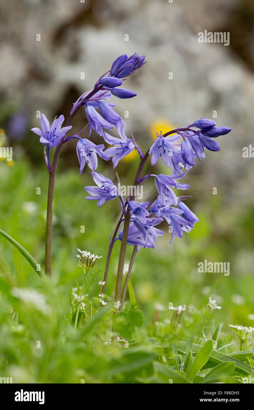 Spanish Bluebell, Hyacinthoides hispanica, with blue anthers; mountains, south-west Spain. - Stock Image