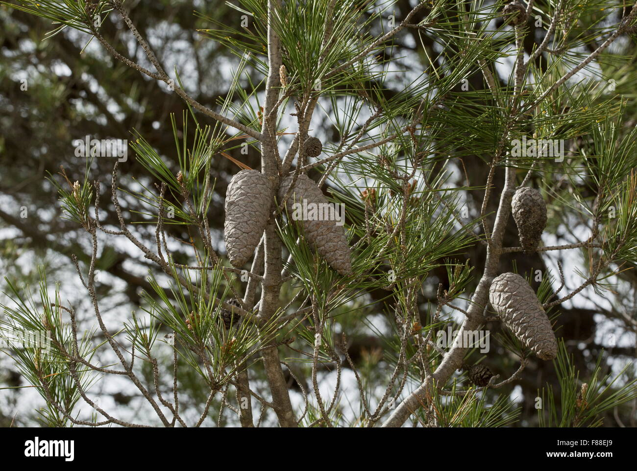 Cones of Aleppo pine, Pinus halepensis, south-west Spain. - Stock Image