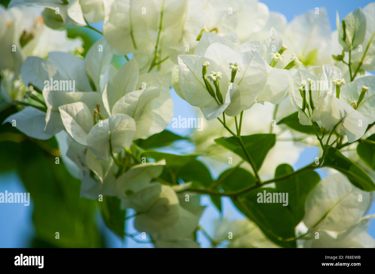 White Tropical Flowers On A Bush Stock Photo 91156391 Alamy
