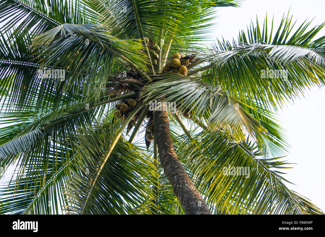 palm trees from below against the blue sky - Stock Image