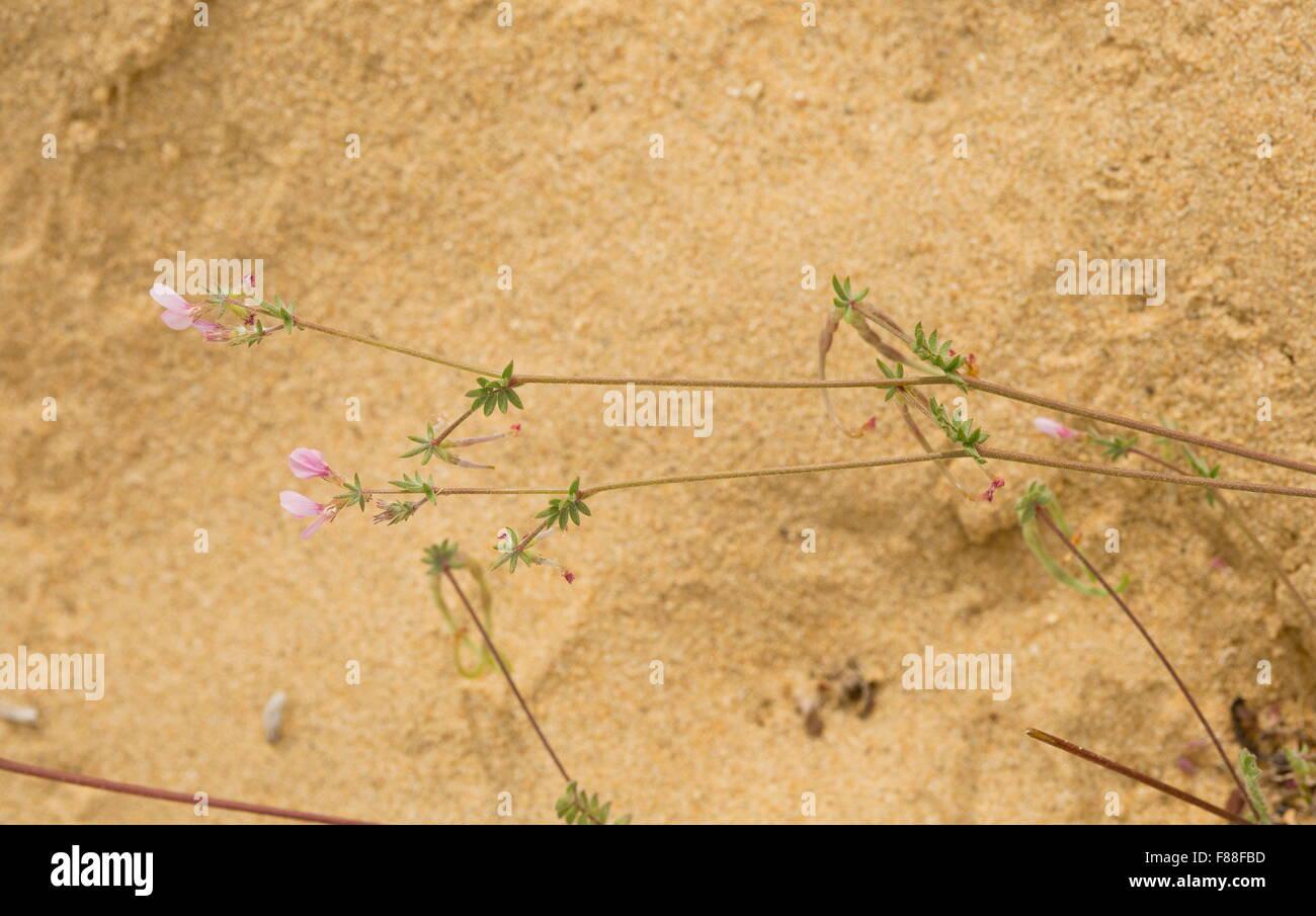 Common bird's foot, Ornithopus sativus in flower and fruit on sand-dunes, Coto Donana. - Stock Image