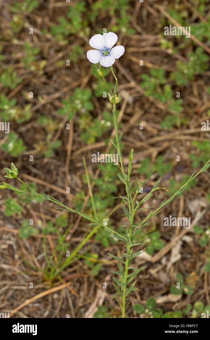Pale flax, biennial flax, Linum bienne - Stock Image