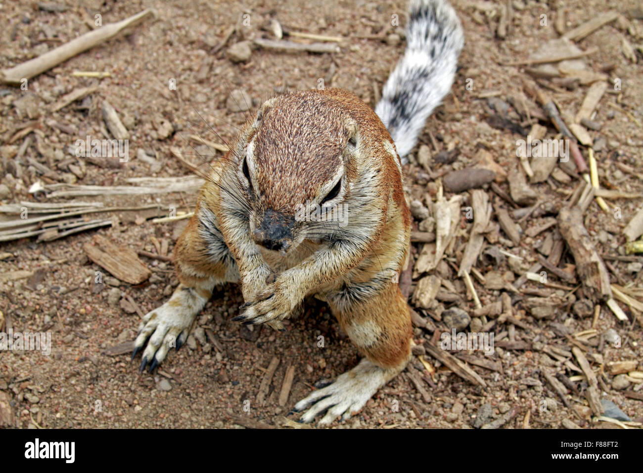 A Ground Squirrel (Sciuridae) at The Giraffe House Wildlife Awareness centre,Western Cape Province, South Africa. - Stock Image
