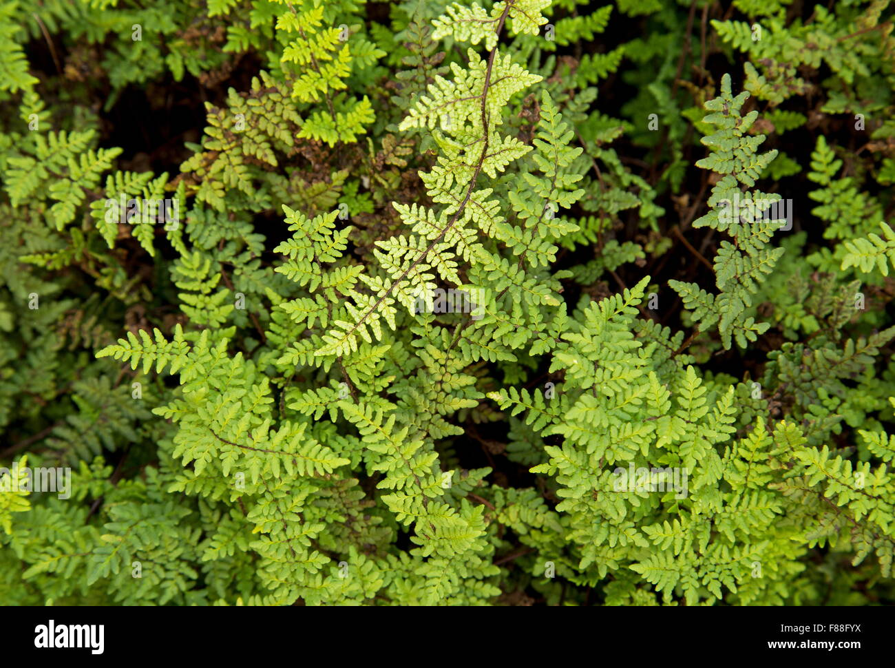A lip fern, Cheilanthes acrosticha, south Spain. - Stock Image