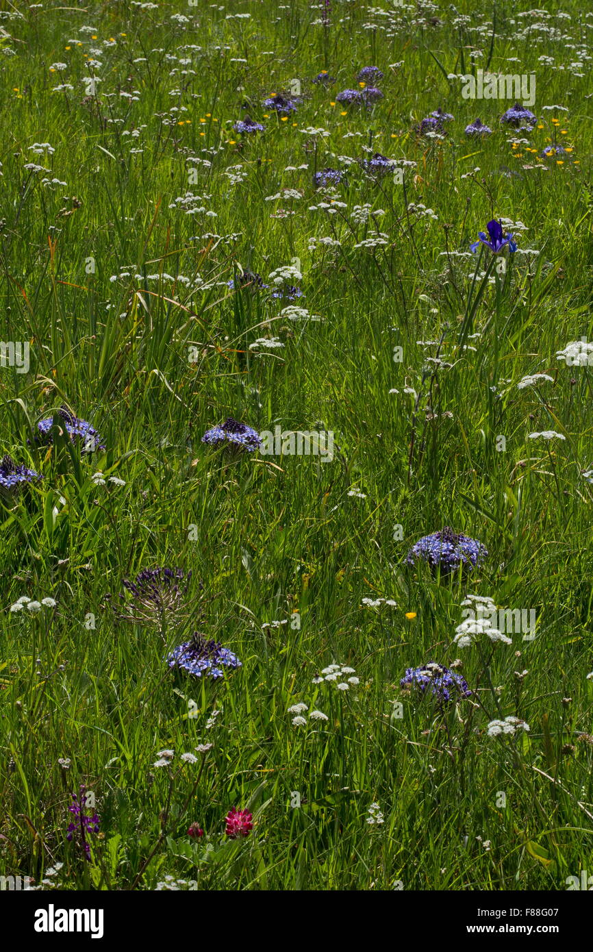 Damp pasture with Iris xiphium, Peruvian Squill, orchids et, near Ubrique, south-west Spain. - Stock Image
