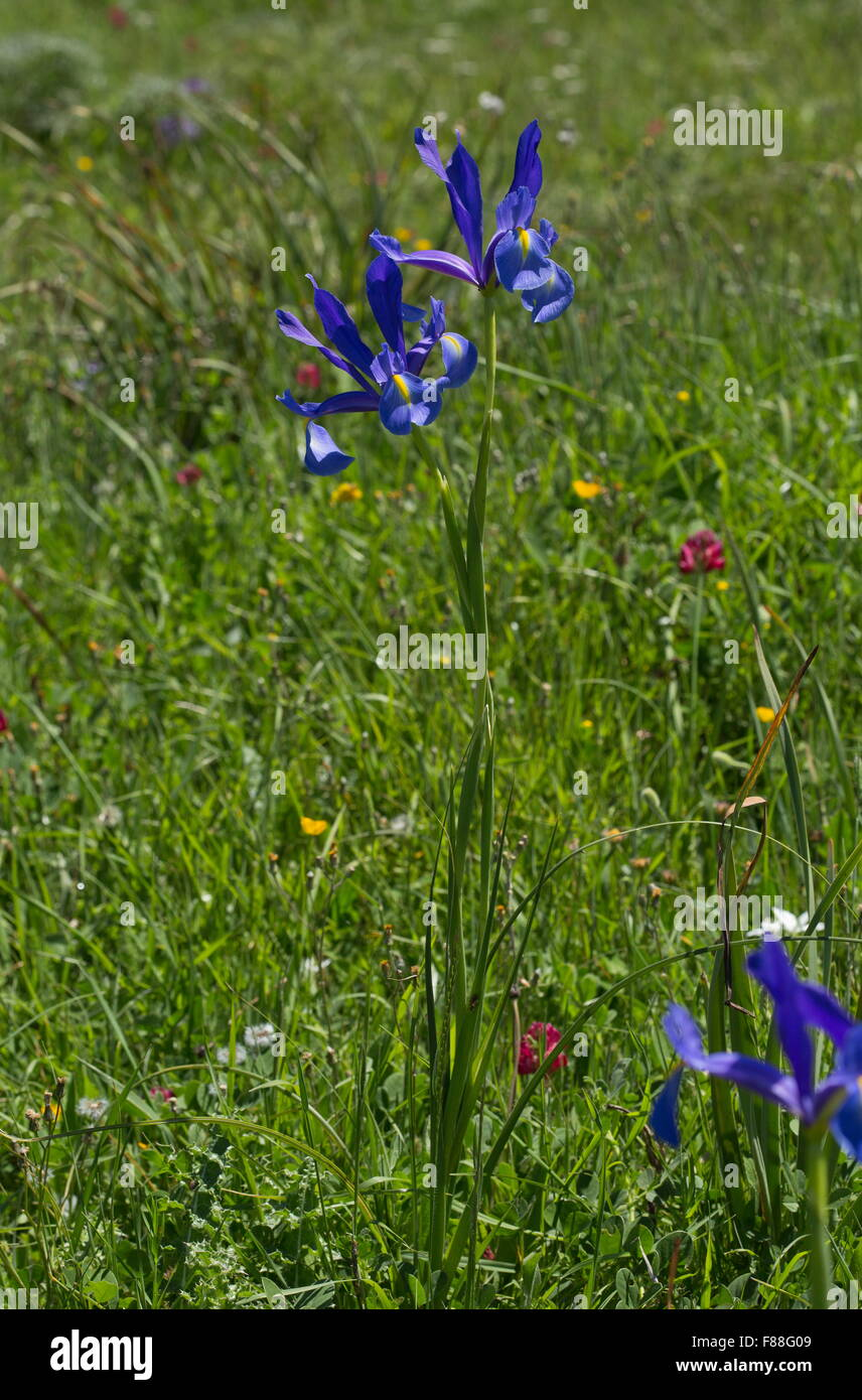 Spanish Iris, Small Bulbous-rooted Iris, Iris xiphium in flower, south-west Spain. - Stock Image