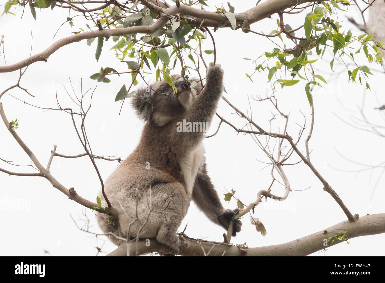 Koala picking eucalyptus leaves to eat - Stock Image