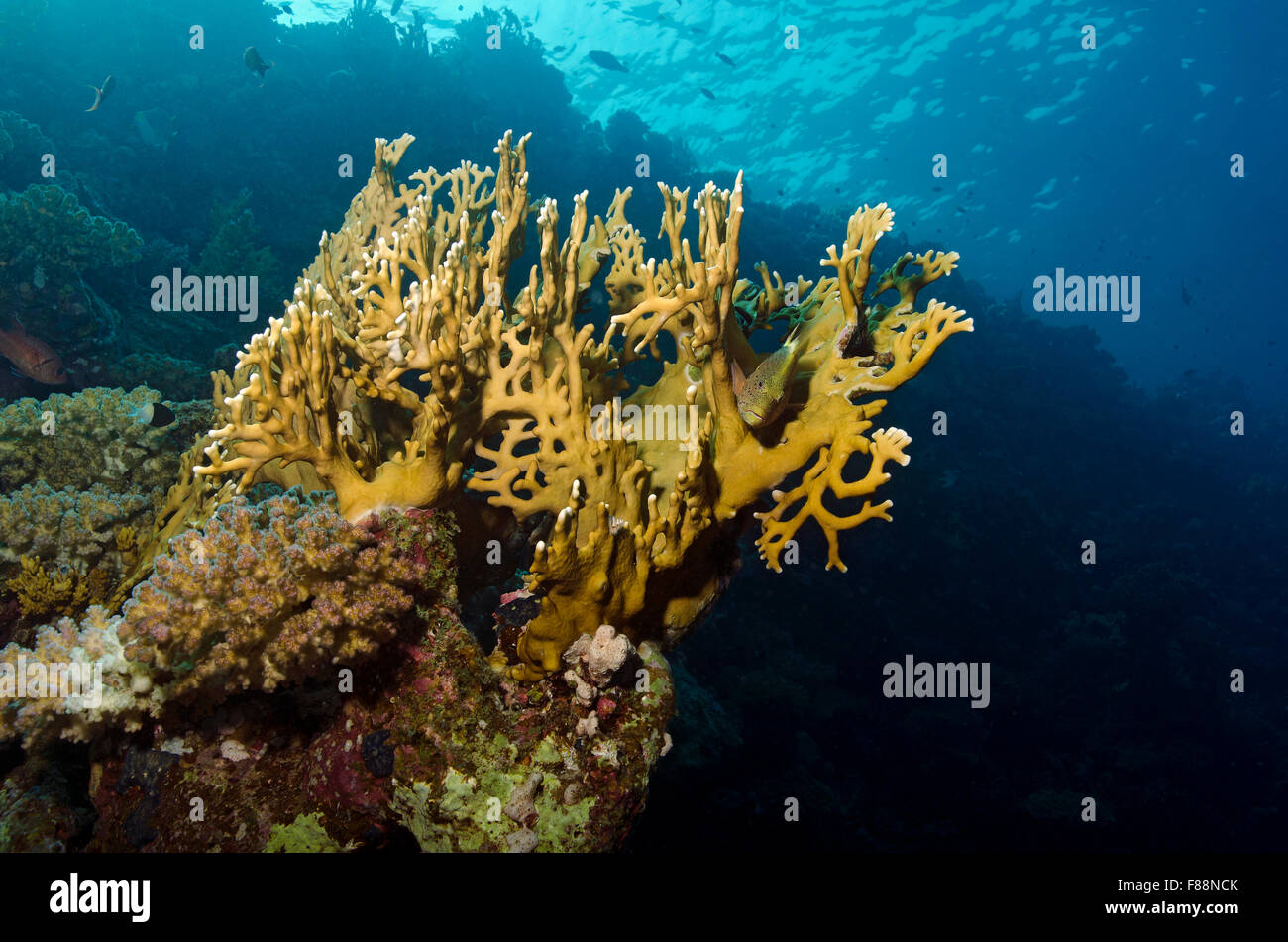 freckled hawkfish, Paracirrhites forsteri, hiding in Net Fire Coral, Millepora dichotoma, Marsa Alam, Red Sea, Egypt - Stock Image