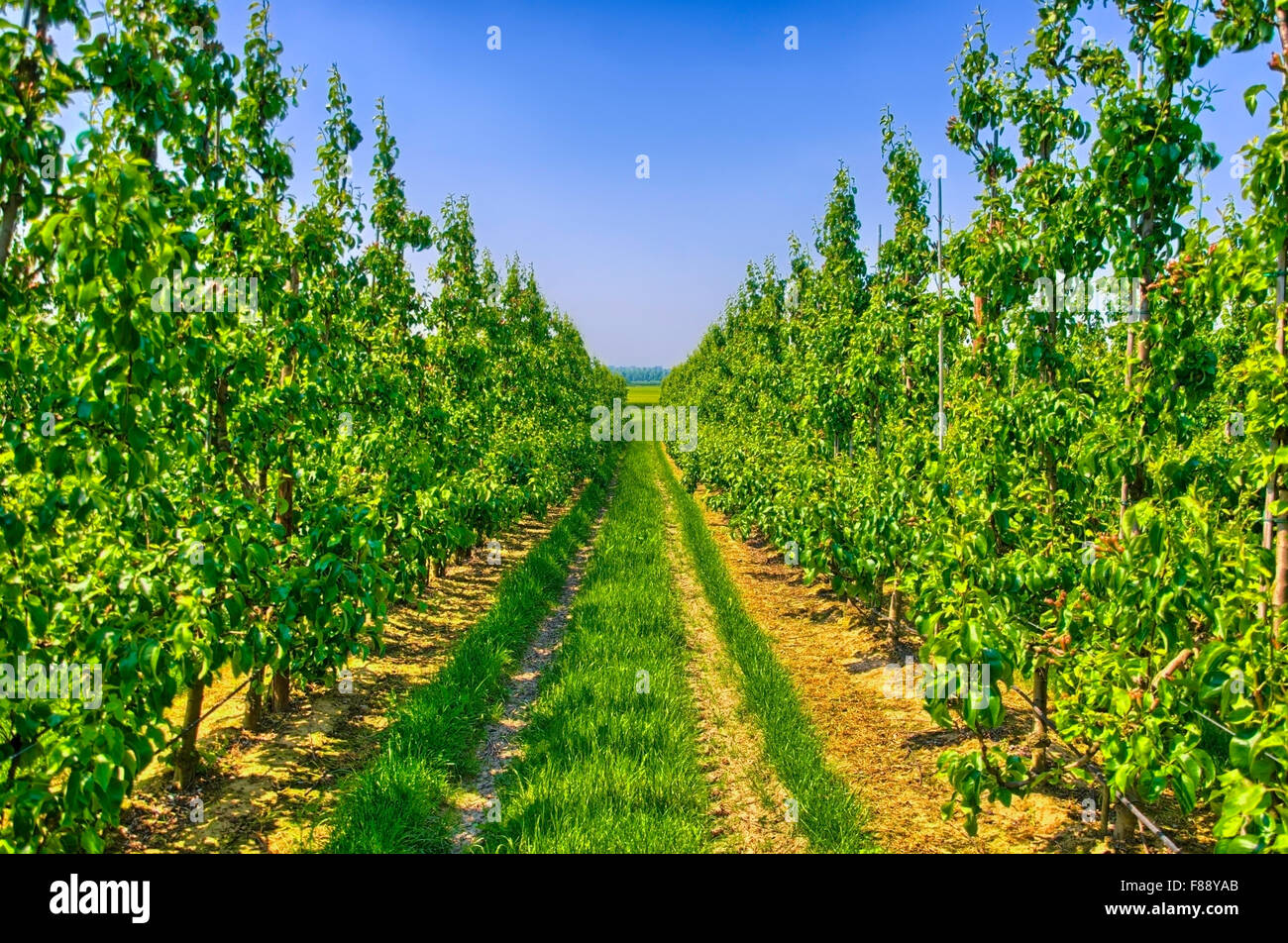 Rows of young apple trees in Belgium countryside, Benelux, HDR Stock Photo