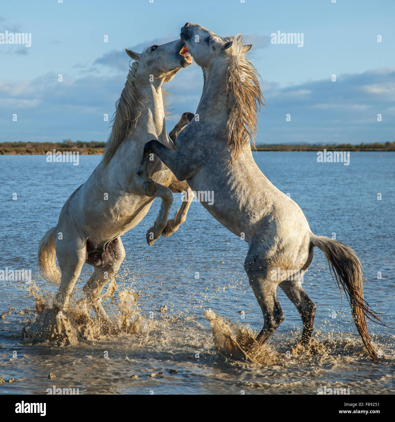 two stallions fighting in the marshes of the Camargue, France - Stock Image