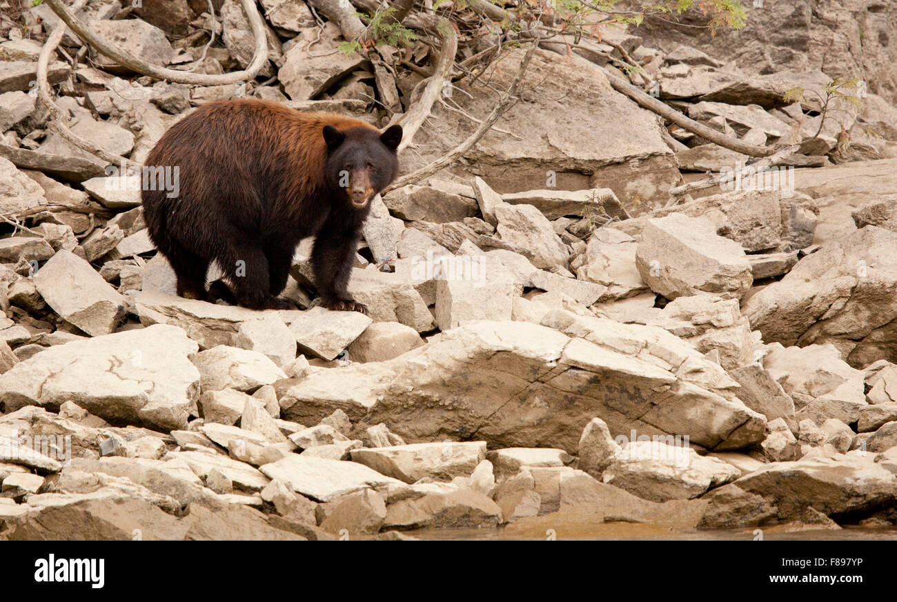 black bear in the wild, british columbia - Stock Image