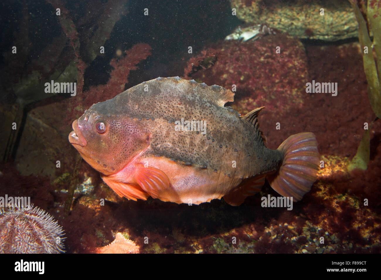 Lumpfish Stock Photos  for Lumpsucker Roe  67qdu