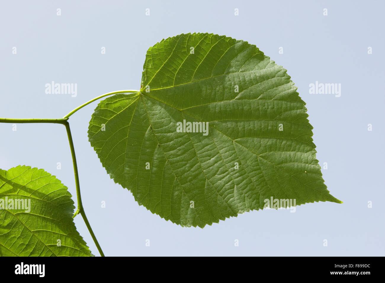 Large Leaved Lime, Linden, leaf, leaves, Sommerlinde, Sommer-Linde, Linde, Blätter, Blatt, Tilia platyphyllos Stock Photo