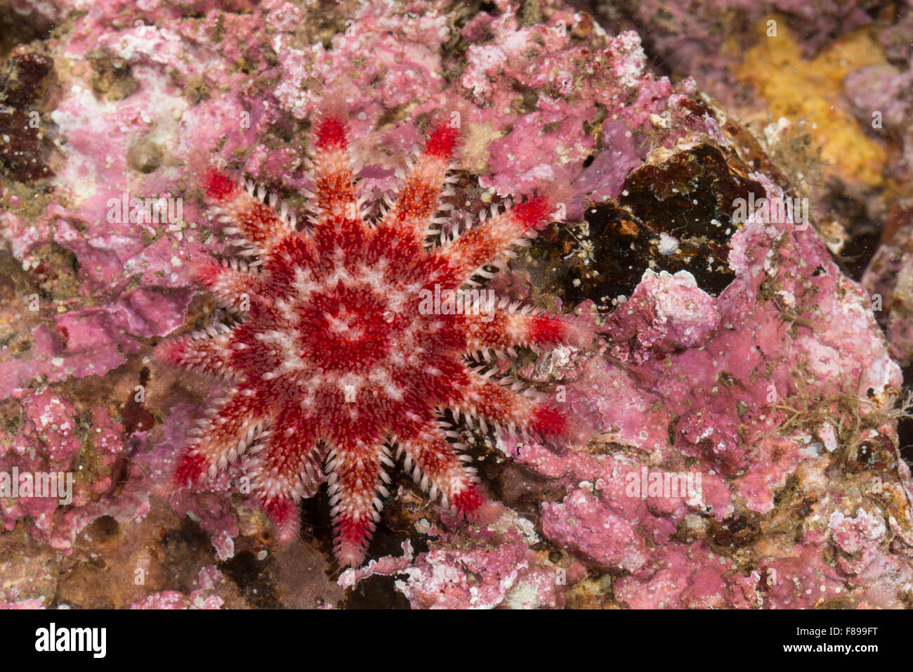 Common sun star, sunstar, spiny sun star, sea star, sea-star, Sonnenstern, Seesonne, Crossaster papposus, Solaster - Stock Image
