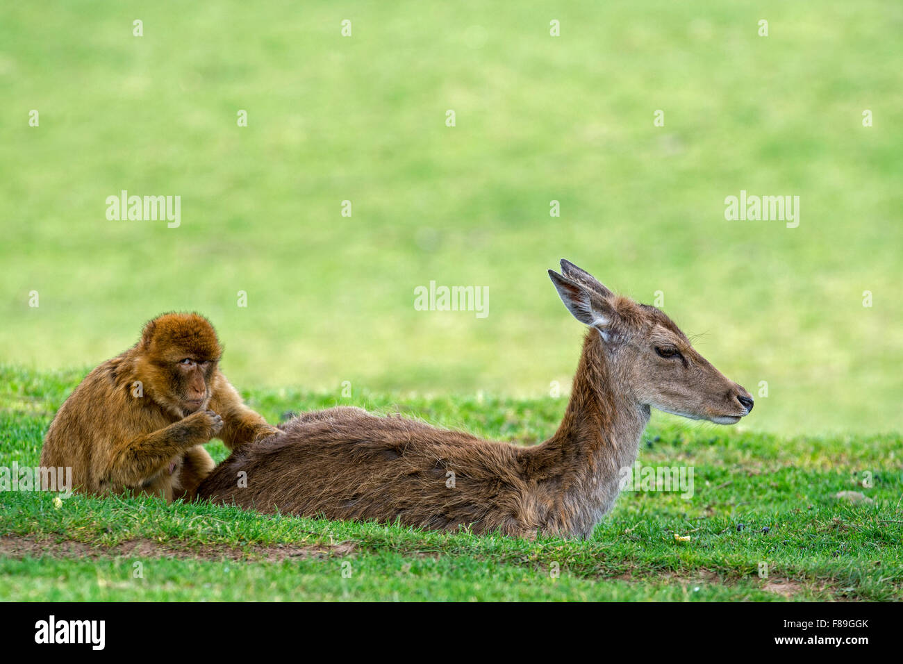 Barbary macaque / Barbary ape / magot (Macaca sylvanus) monkey species native to Northern Africa and Gibraltar grooming - Stock Image