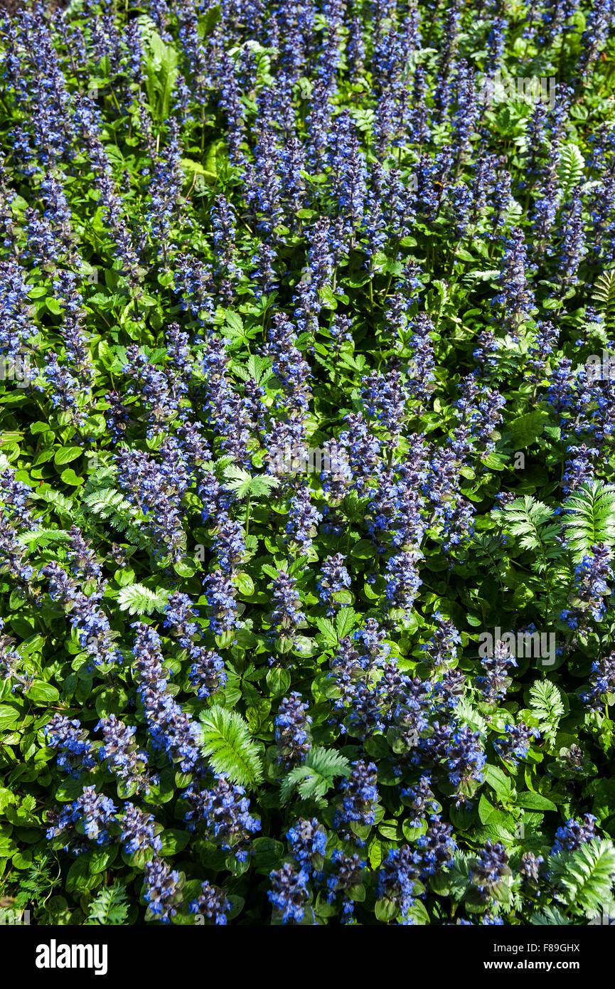 Blue bugle / bugleherb / bugleweed / carpetweed / carpet bungleweed / common bugle (Ajuga reptans) in flower Stock Photo
