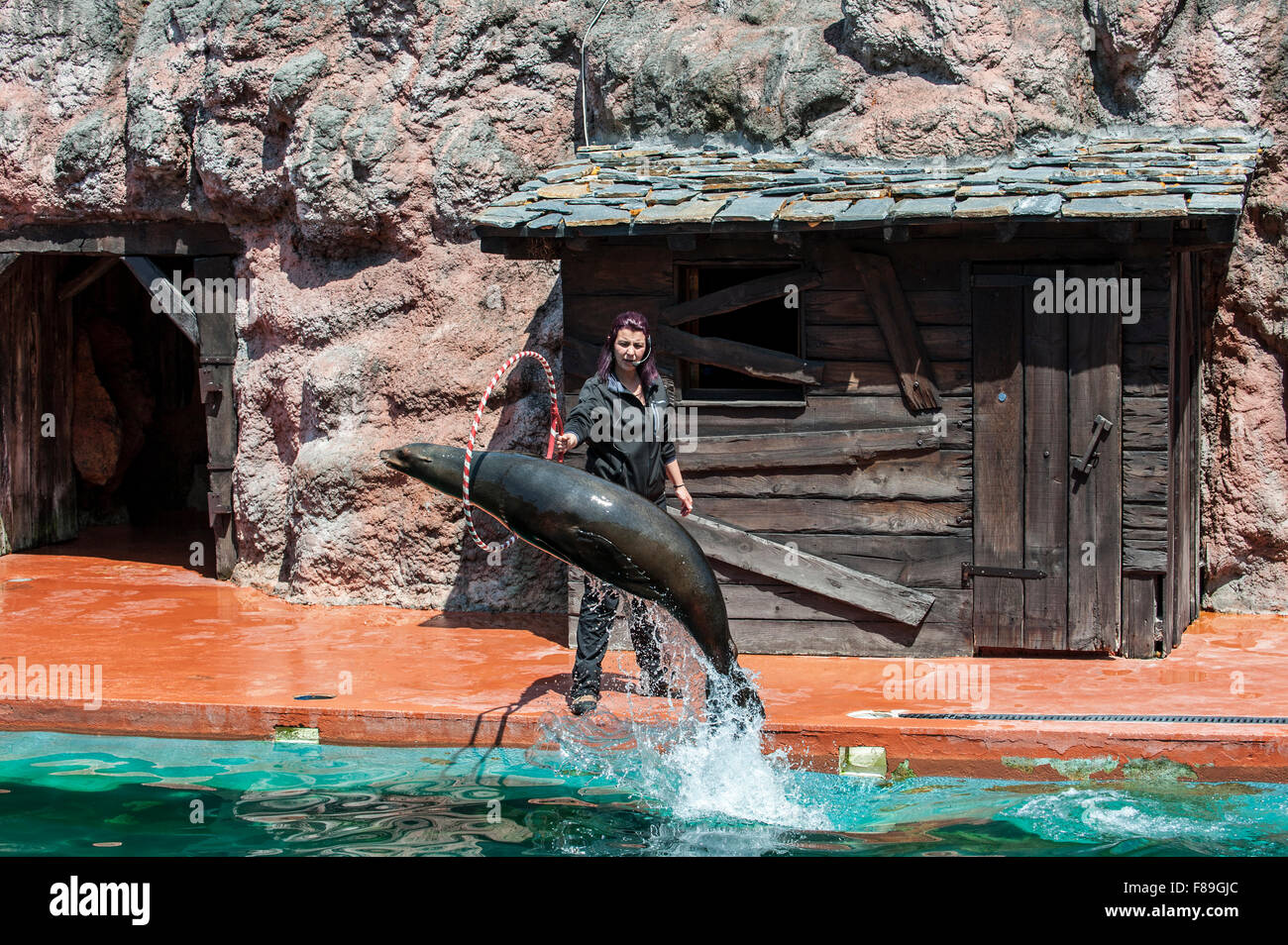 California sea lion (Zalophus californianus) jumping through hoop held by trainer during show, Cabarceno Natural - Stock Image