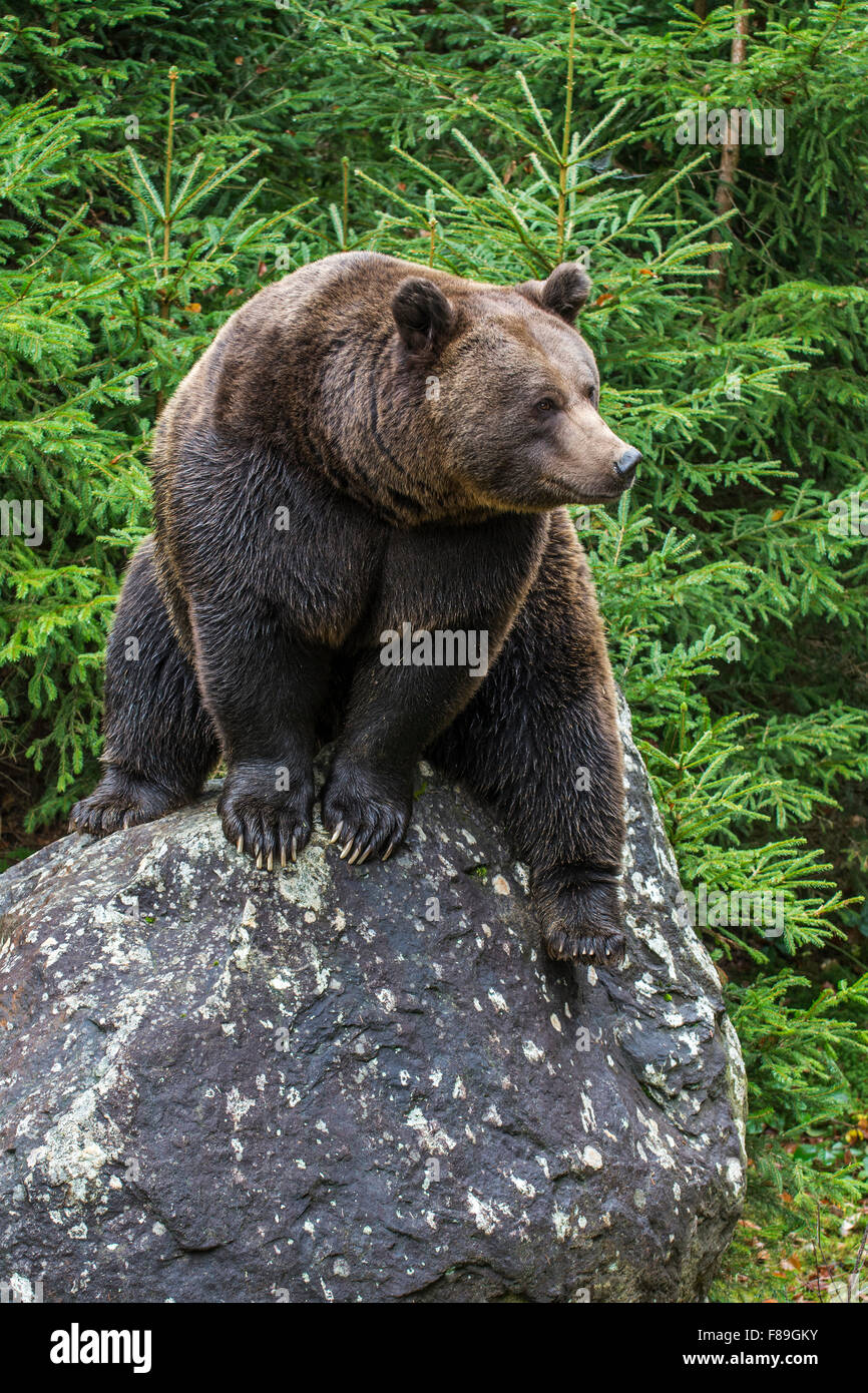 bed2a0c1013c36 Eurasian brown bear (Ursus arctos arctos) sitting on rock in coniferous  woodland - Stock