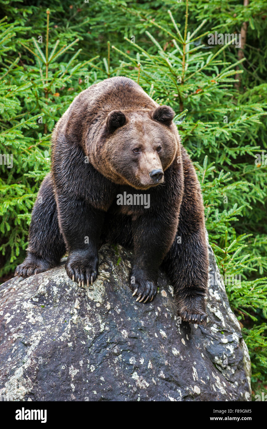Eurasian brown bear (Ursus arctos arctos) sitting on rock in coniferous woodland Stock Photo