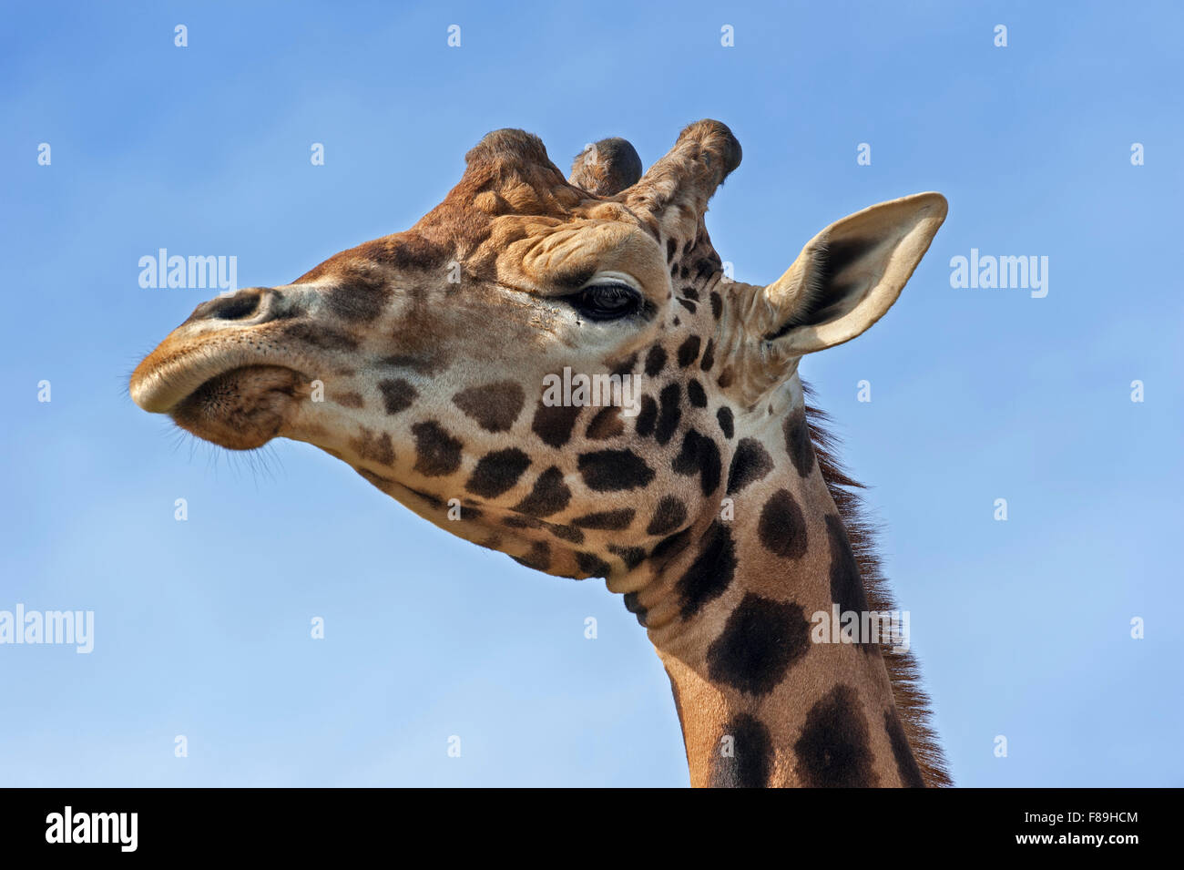 Giraffe (Giraffa camelopardalis), close up of head against blue sky - Stock Image