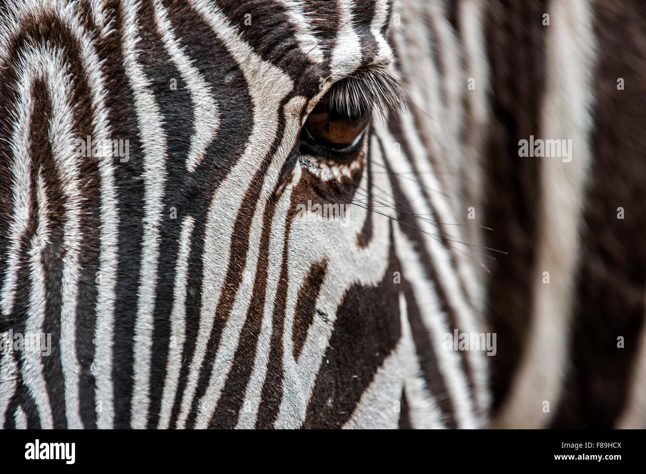 Grévy's zebra / imperial zebra (Equus grevyi) native to Kenya and Ethiopia, close up of striped head - Stock Image