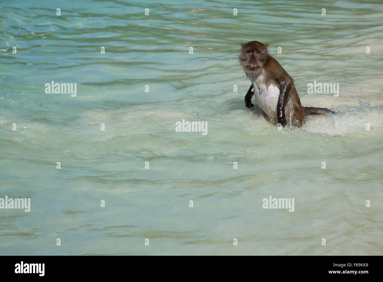 Monkey At The Monkey Beach In Koh Phi Phi Island Thailand