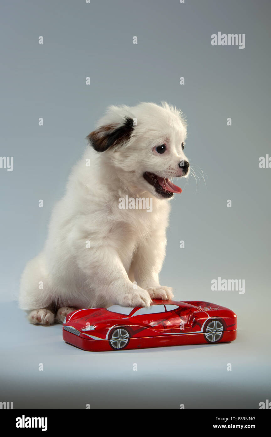 Portrait of a puppy of companion mixes with the red toy car. gray background, vertical format. - Stock Image