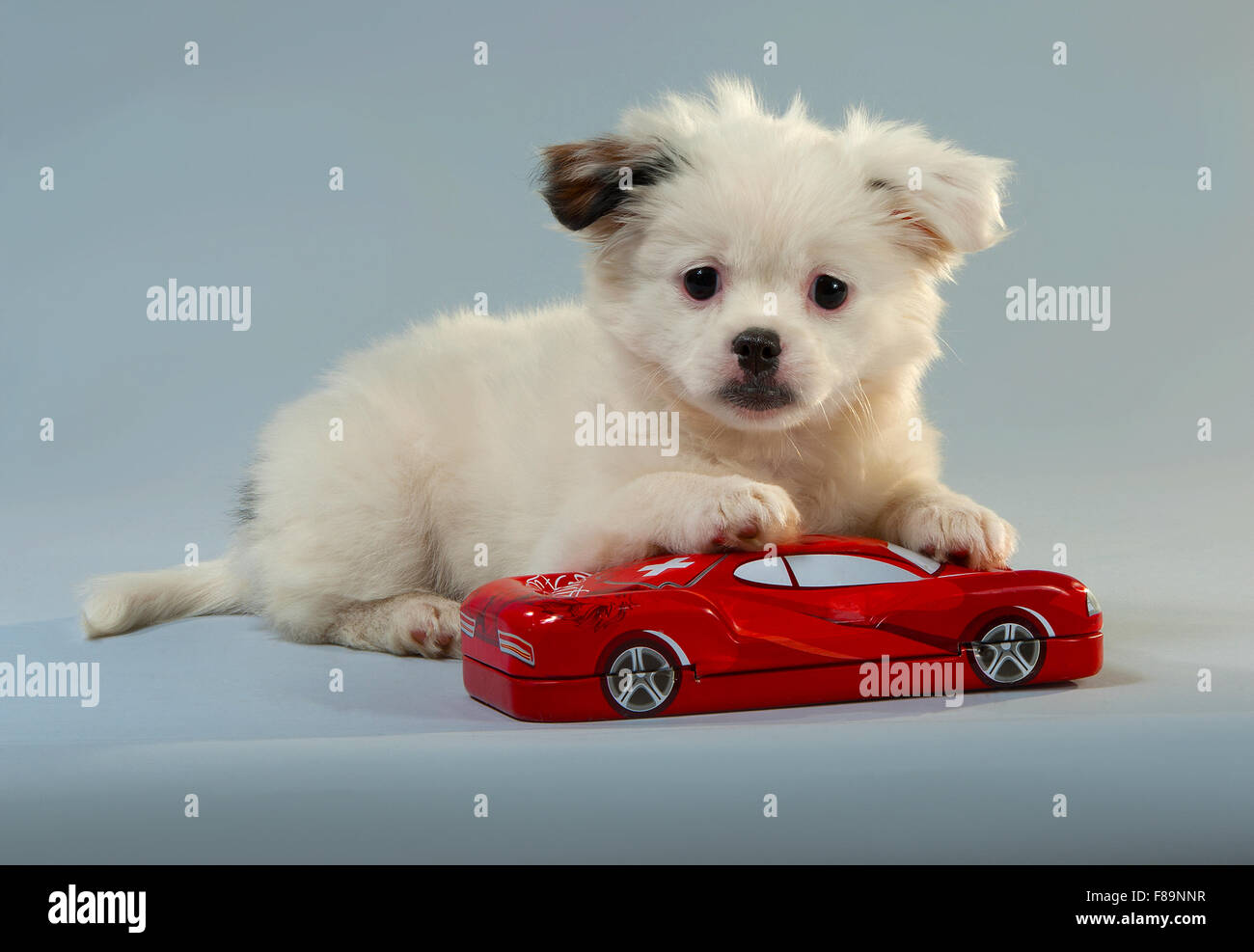 Portrait of a puppy of companion mixes with the red toy car. gray background, horizontal format. - Stock Image