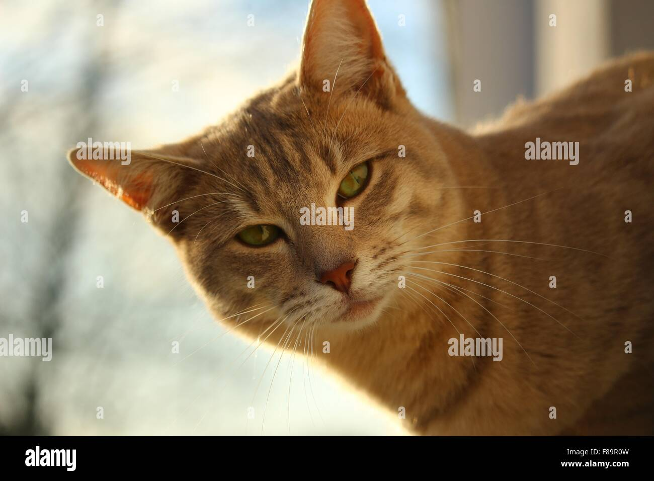 Close-up portrait of a ginger tabby cat outside - Stock Image