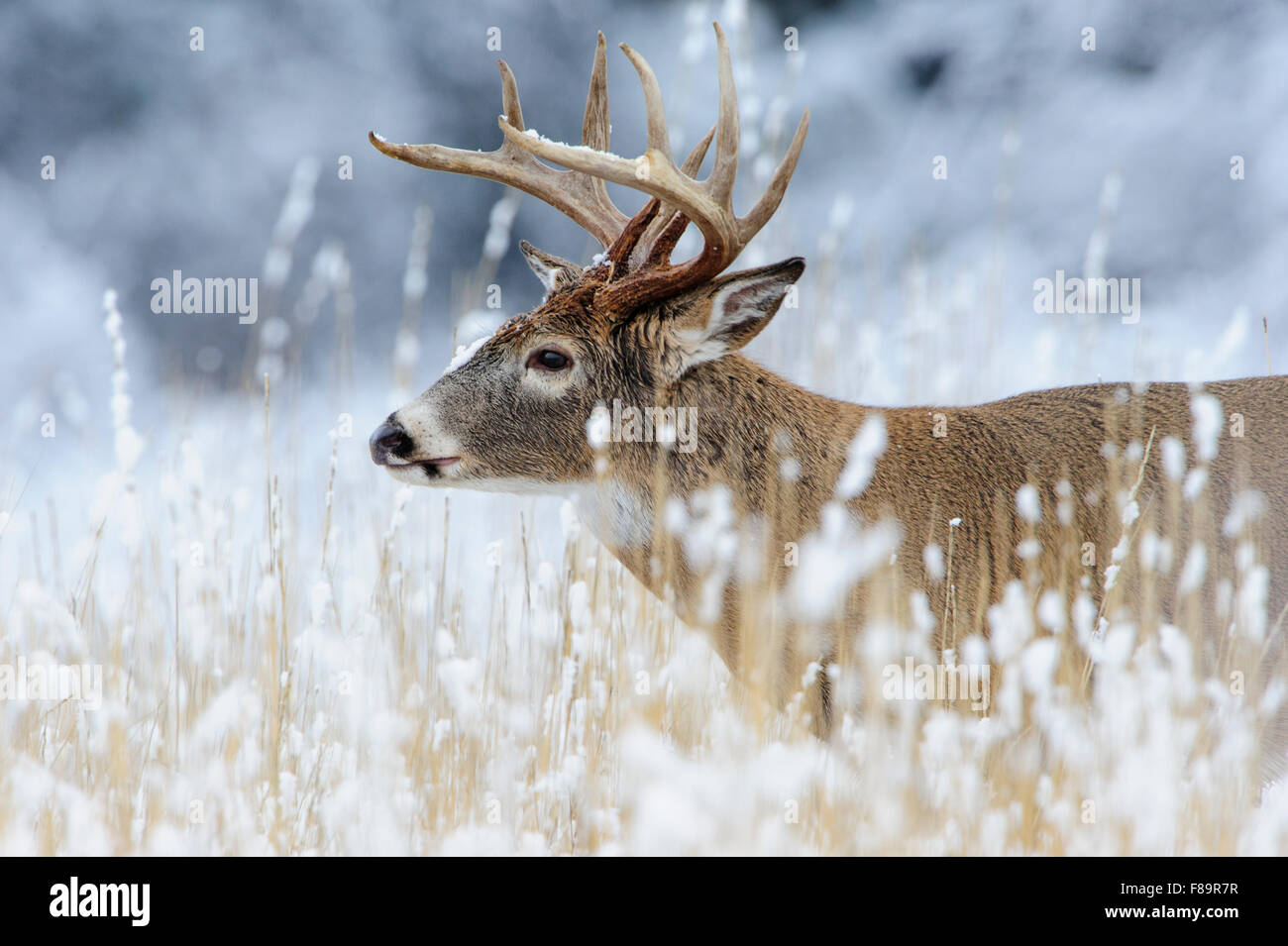 White-tailed deer buck in snow, Western US - Stock Image