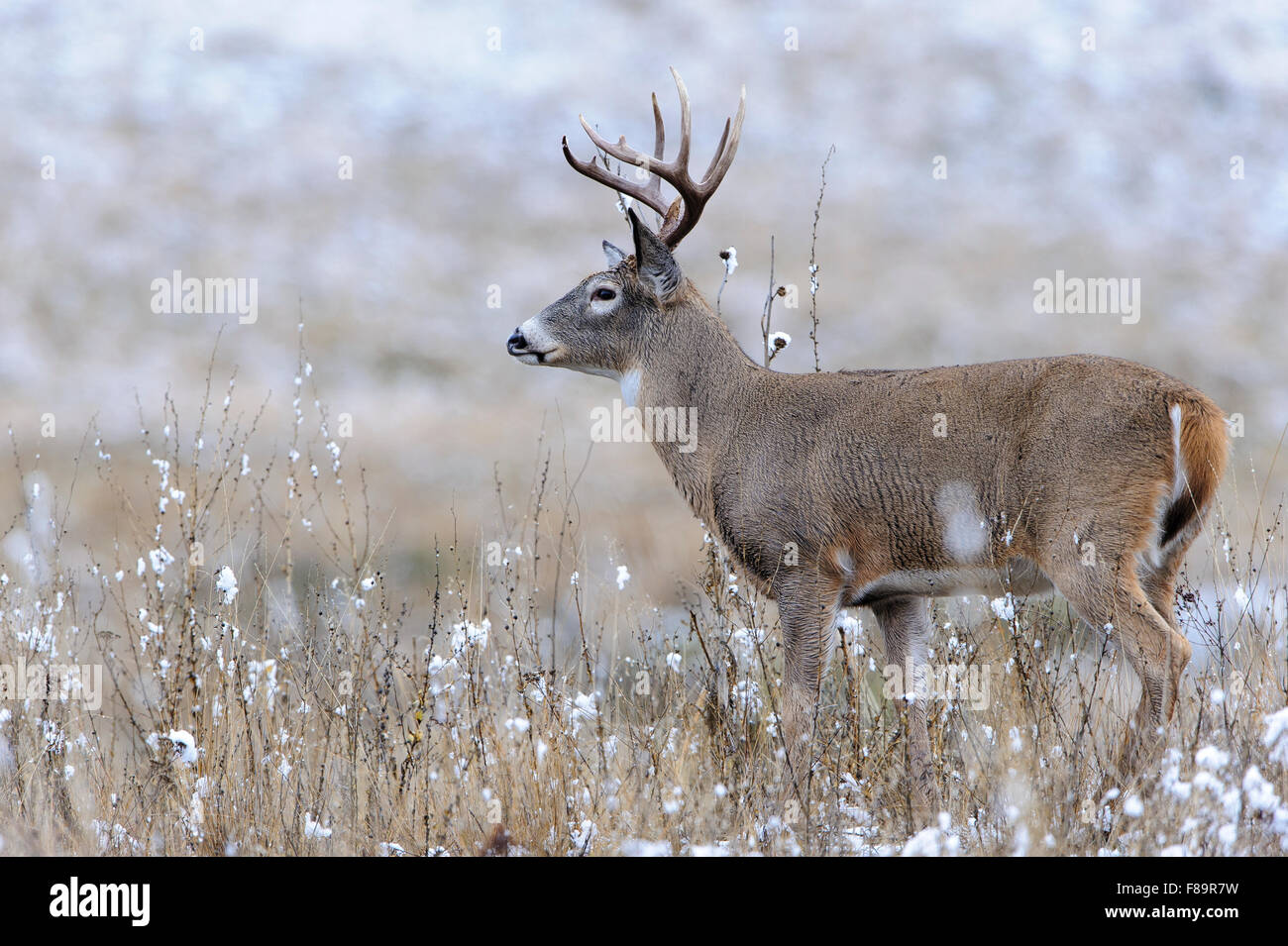 White-tailed Deer Buck During Autumn Rut, Western US - Stock Image