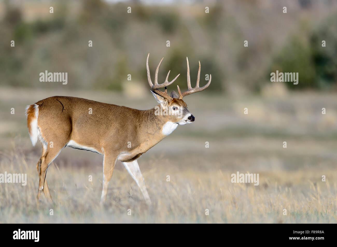 White-tailed Deer Buck, Western US Stock Photo