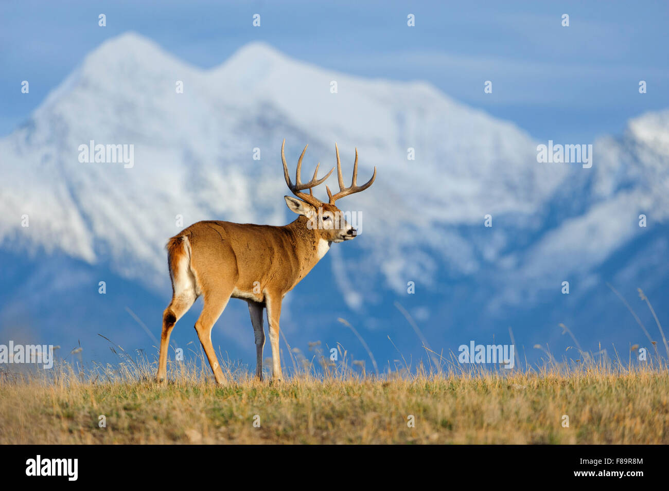 A white-tailed buck (Odocoileus virginianus) stands in front of snow capped mountains, North America - Stock Image