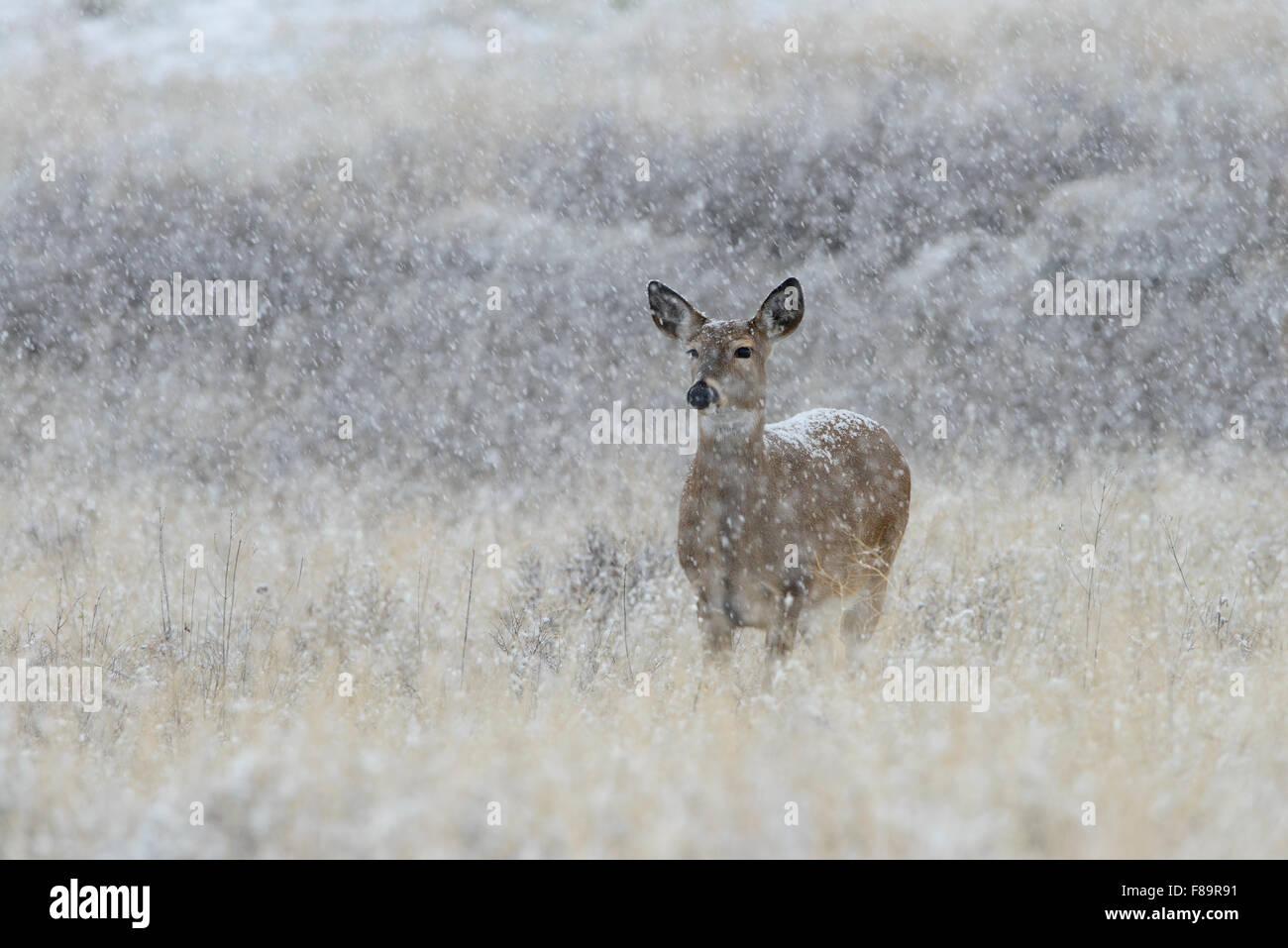 A white-tailed doe endures an Autumn snowfall, Western US - Stock Image