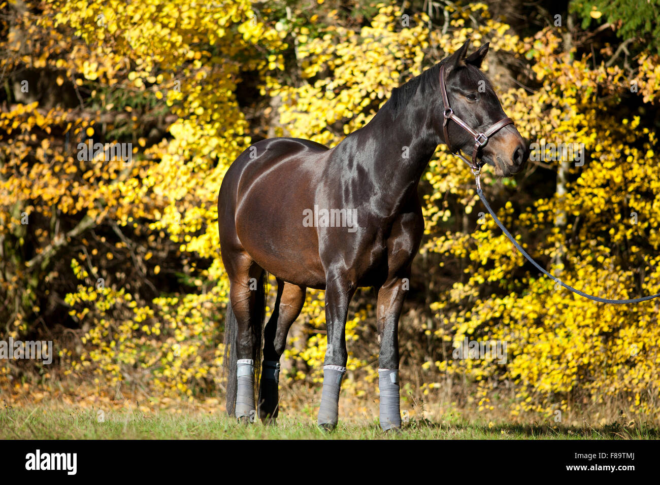 horse portrait on meadow with yellow autumn leaves in background - Stock Image