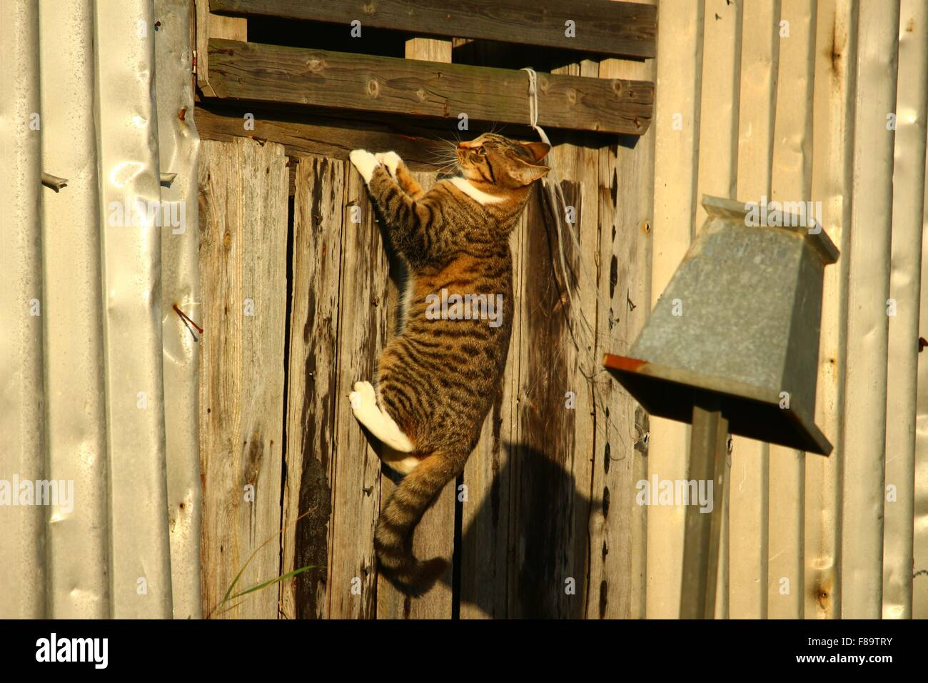 Tabby cat climbing up a wooden building outside - Stock Image